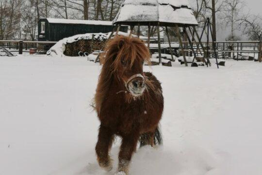 Talhof-Ponys im Schnee